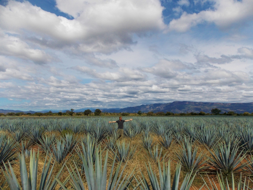 A field of Agave