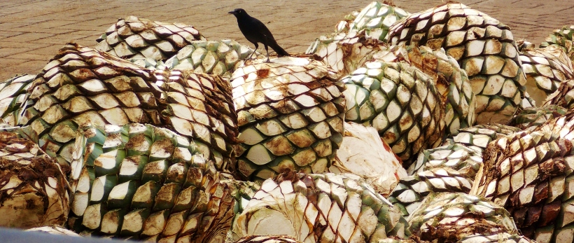 Ok, so it's not a raven, but just imagine it is...on the Agave pineapples