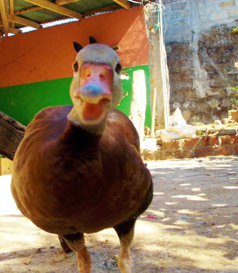 Attack duck!