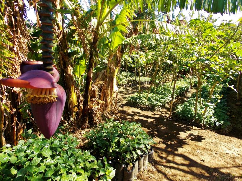 Cesars baby coffee trees