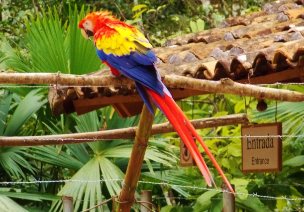 The macaws that welcomes you to Copan