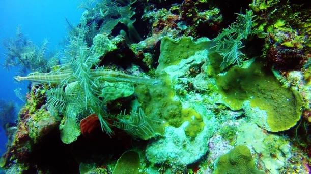 Trumpet fish doing a bad job of hiding