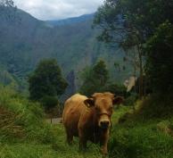 MC Cow