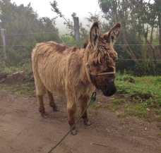 The most adorable shaggy donkey