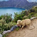 Escaped sheep!