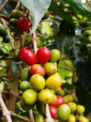 Coffee cherries in Salento