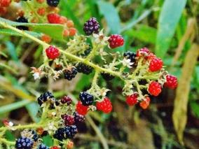 Jungle berries